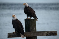 Bald Eagles on piling