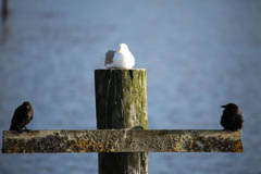 Gull on piling