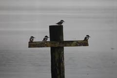 Fledged Kingfishers