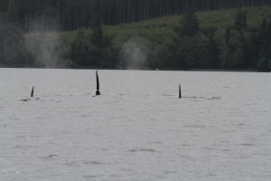 Bigg's (Transient )  Killer Whales aka Orcas