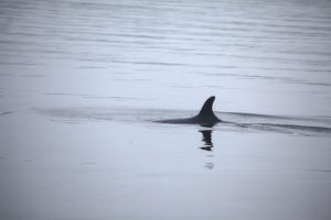 Minke whale: Bolt