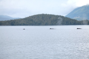A trio of humpback whales