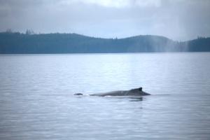 Humpback Whale: Twister