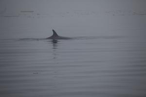 Minke Whale: Ripple