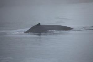 Humpback whale KC - dorsal fin