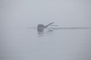 Humpback whale - fluke