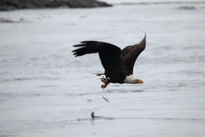 Bald eagle fishing sequence