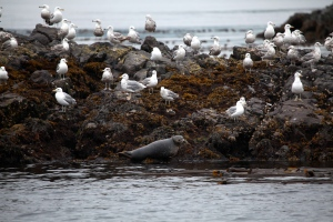 Gulls and seal pup