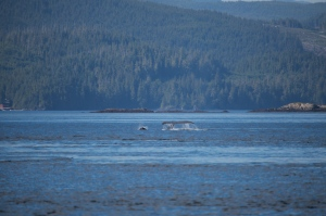 humpback whale and dalls porpoise