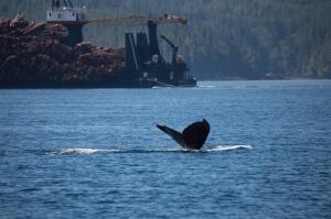 humpback whale and log barge