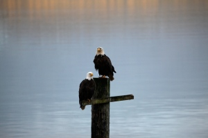 Bald eagles in Alert Bay this morning