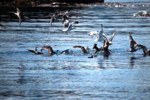 gulls feeding on a herring ball