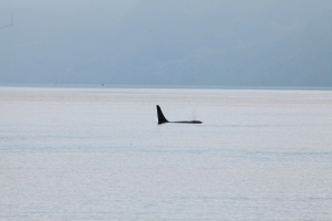 A37 foraging in Johnstone Strait