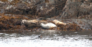 harbour seals: mother and pups