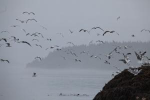 Gulls galore this morning