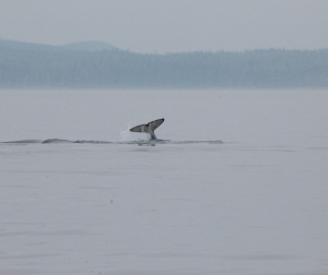 one of the humpback whales
