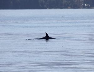 minke whale # 1