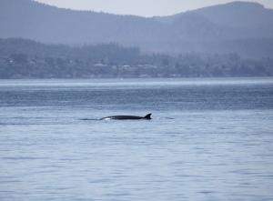 minke whale #2