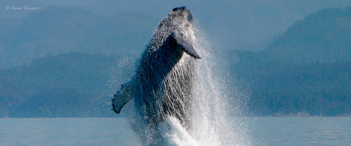 humpback_breach_jared