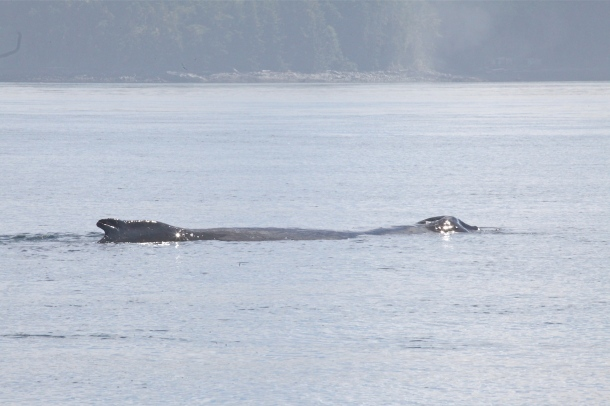 KC ~ Humpback Whale