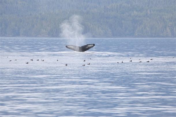 Humpback Whale ~ Horizon