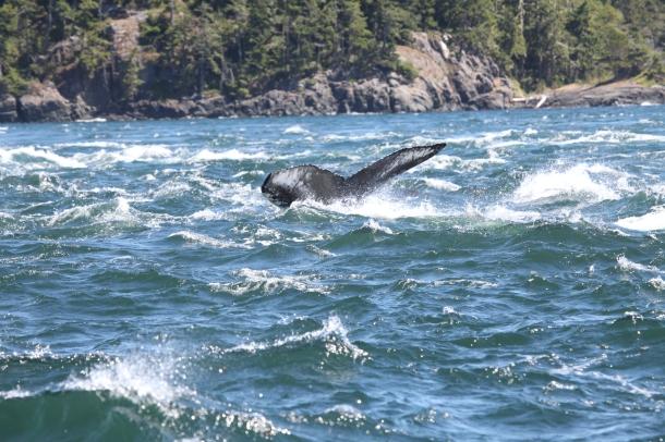 Humpback Whale ~ Argonaut