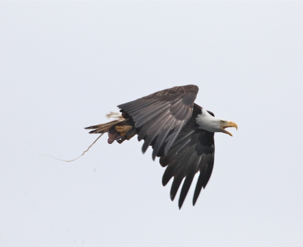 Bald Eagle with part of salmon