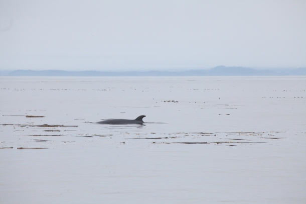Minke Whale ~ Galaxy