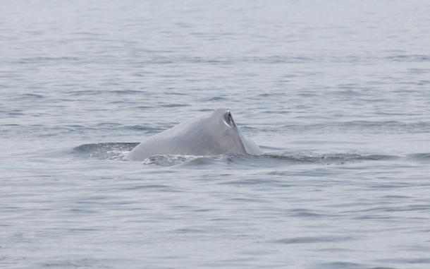 Humpback Whale- Argonaut